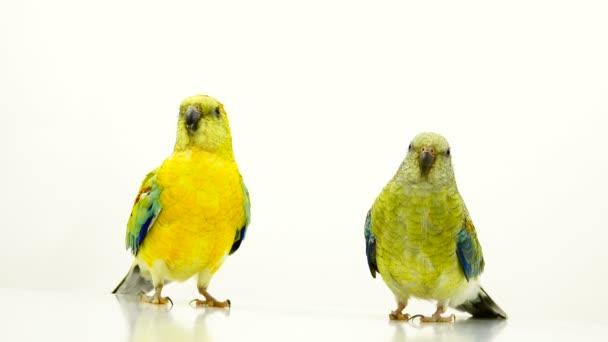 Певчий попугай (Psephotus haematonotus)