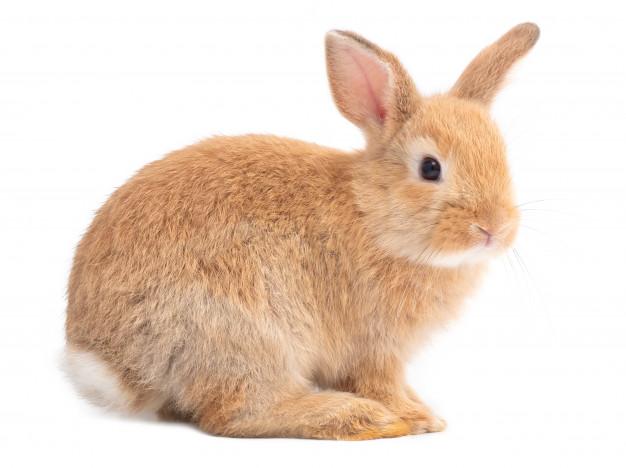 Кролик (Leporidae)