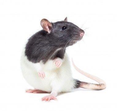 Пацюк (Rattus)