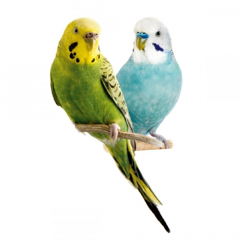 Хвилястий папуга (Melopsittacus undulatus)
